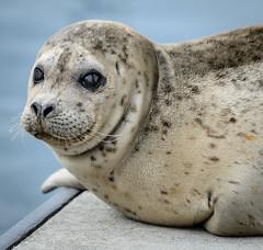 20170925-Seals CapSante-1206 (Ding Zhou) Tags: anacortes capsantemarina usa washington boating seal