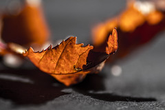 Colours of Autumn (curiouscameras) Tags: flickrfriday macro 90mm autumn orange leaf grey shadows light dogme95