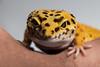 Leopardgekko (oddarvebjerkli) Tags: lizard gekko gecko reptile animal leopardgekko leopardgecko