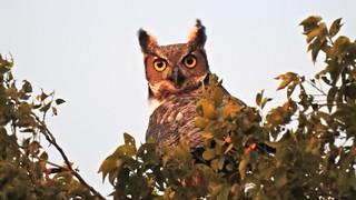 FSCN4462 Hoot Owl