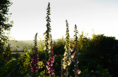 June in the Garden (Mark Wordy) Tags: mygarden flowers eveninglight foxgloves digitalispurpurea