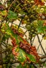 Herbstregen auf dem Hof-Wein - PG2_11614_mantiuk06_0.1_1.6_1-flr (MUPFT) Tags: mupft celle giesemann herbst regen wein weintrauben blatt blätter natur pflanze