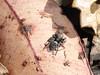 Pretty but less fluffy (tessab101) Tags: spider arachnid arachnids arthropods kuringgai wildflower gardens north sydney nsw australia salticid salticidae jumping