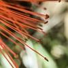 "Bottlebrush ""bristles"" (""Pam's Pet Pictures"") Tags: addonlens availablelight flower macro macrophonelens iphonemacro camkixiphonelenskit bottlebrushflower"