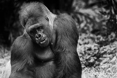Strong Silverback Gorilla (dptro) Tags: gorilla silverback monochrome black white animals endemic primates close up muscular social intelligent strong alpha male dominant leader deforestation lost habitat wild life endangered species
