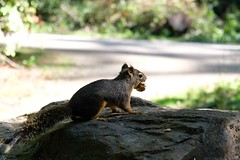 Douglas squirrel (theq629) Tags: animal squirrel douglassquirrel chickaree canada bc gvrd burnaby centralpark