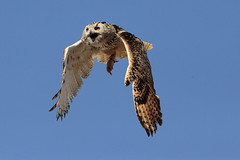 Gufo reale (carlo612001) Tags: zeus gufo guforeale eagleowl owl inflight wings claws sky predatoridelcielo predatori del cielo bird birds uccello uccelli preda predators raptors beauty action mouvment falconeria falconry