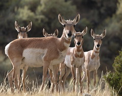 Pronghorn Antelope Does and Fawns (fethers1) Tags: pronghornantelope yellowstonenationalpark