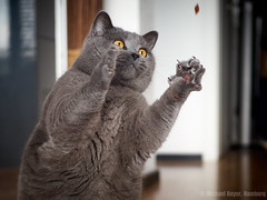 Conner hunting some snacks (michaelbeyer_hh) Tags: cat bkh britishshorthair