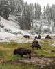 Bison at Mud Volcano (dan.weisz) Tags: yellowstonewildlife yellowstone yellowstonepark bison snow