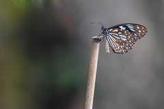 Dark Blue Tiger (Tirumala septentrionis 小紋青斑蝶) (Minder Cheng) Tags: butterfly darkbluetiger taipeibotanicalgarden taipei taipeicity taiwan tw