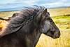Icelandic horse (aaamsss) Tags: horse iceland iscelandichorse animals aninal nature natureworld aaamsss blackhorse