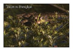 Vallon du stang alar 2017 - Les grenouilles (porte-plume) Tags: brest stangalar stangalard