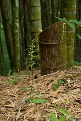 Peristylus lacertiferus 裂唇闊蕊蘭(青花玉鳳蘭) & Peristylus calcaratus 貓鬚蘭