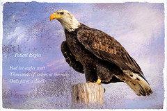 Patient Eagle ~ Haiku (Johnrw1491) Tags: wildlifepoetry poems poetry eagle cowboys ranches nature cattle wildlife birds textures fine art digital haiku zen narration