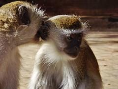 "Vervet Monkey • <a style=""font-size:0.8em;"" href=""http://www.flickr.com/photos/152934089@N02/37614993451/"" target=""_blank"">View on Flickr</a>"