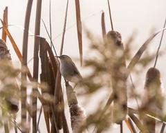 105: Marsh Wren
