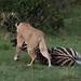 Lioness dragging a zebra