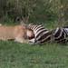 Lioness feeding on a zebra