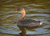 Pied-billed Grebe (Nick Scobel) Tags: piedbilled grebe podilymbus podiceps bird water wading green cay wetland everglades south florida marsh