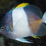 Black Pyramid Butterflyfish - Hemitaurichthys zoster thumbnail