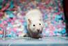 Dawnstar (Earth Rise) Tags: hamster hamsters syrian flowers animal animals