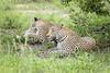 Relaxed (Sheldrickfalls) Tags: leopard leopards luiperd sabisands nottensbushcamp krugernationalpark kruger krugerpark mpumalanga southafrica