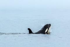 Just having fun. (Melanie Leeson) Tags: canadianwildlife orcas mammals northamericanwildlife mammalsofnorthamerica apod britishcolumbiawildlife blingsister melanieleesonwildlifephotography