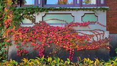 Autumn Under the Window II (Bob90901) Tags: autumn window danforthst portland maine fall foliage color morning ivy rpg90901 fallcolors fallfoliage canon 6d canonef24105mmf4lisusm 2014 october 0936