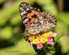 The ladies are still around ... (Lindell Dillon) Tags: paintedlady lepidoptera nature oklahoma lindelldillon wildoklahoma