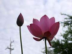 Sacred Lotus 'Chinese Red Xibeipo' Wahgarden Klong15 008 (Klong15 Waterlily) Tags: chinared lotus lotusflower flower sacredlotus thailotus nelumbo nelumbonucifera pond
