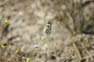 Mariposa Blanquiverdosa, nombre científico Pontia daplicide #enriquemalaga  #mariposa #lepidopteros #lepidoptero  #blanquiverdosa #pontiadaplicide  #insecto