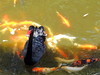 Swana and fish (markb120) Tags: bird fowl flyer flier plumage feathering feather coverts coat dress beak bill pecker rostrum neb nib hhead eye animal fauna water fish nishikigoi koi carp