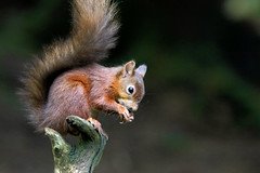 Red Squirrel feeding (robin denton) Tags: nature wildlife wensleydale yorkshiredales yorkshiredalesnationalpark northyorkshire yorkshire animal fauna redsquirrel bokeh sciurusvulgaris