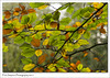Autumnal Colours (Paul Simpson Photography) Tags: paulsimpsonphotography nature tree leaves leaf goldleaf autumn fall autumnal naturalworld sonya77 sonyphotography branch twigs woodland forest woods october 2017 imagesof imageof photoof photosof