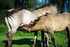 Before sunset (kchan0214) Tags: konikpaarden tokinaatxmacro90f25 lenstagger bokina tokina 90mm animal nijmegen gelderland netherlands nl