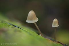 fungi 16.10.2017 -p4d- 008 (event-photos4dreams (www.photos4dreams.com)) Tags: fungi16102017p4d gersprenz landschaft münster hessen photos4dreams p4d photos4dreamz susannahvvergau nature natur fungus fungi pilz pilze mushroom mushrooms