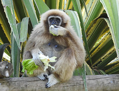 Gibão-de-mãos-brancas / Lar gibbon or White-handed gibbon (Hylobates lar) (Marina CRibeiro) Tags: portugal lisboa lisbon zoo gibão gibbon primata primate hylobatidae endangered