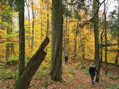 IMG_4287 walking the Haymeadow Creek trail (jgagnon63@yahoo.com) Tags: forest forestbathing autumn fall october deltacountymi upperpeninsula uppermichigan michigan beechtrees hemlock hiawathanationalforest