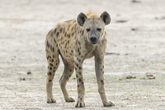 Spotted Hyena (Michael Zahra) Tags: feline feliformia hyena spottedhyena laughinghyena carnivore scavenger hunter africa canon 7d 7d2 5d 5d3 5d4 safari nature travel tourism zambia savannah grassland mammal wildlife