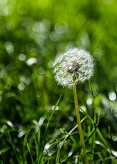 You can't depend on your eyes when your imagination is out of focus. Mark Twain (druzi) Tags: macro natura soffione erba verde nature green soft bokeh grass dandelion focus