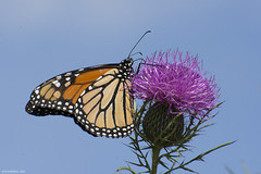Butterfly 2017-149 (michaelramsdell1967) Tags: field sky beauty nature macro blue animals beautiful closeup butterfly animal pretty insect vivid insects wildlife photography thistle zen wild detail vibrant bug butterflies meadow bugs wilderness monarch upclose monarchs
