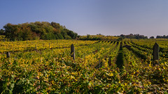 Vigneti (andbog) Tags: caluso piemonte piedmont collina hill viti landscape paesaggio torino turin to canavese it lives sony alpha ilce a6000 sonya6000 emount mirrorless csc sonya sonyα sonyalpha italy italia sony⍺6000 sonyilce6000 sonyalpha6000 ⍺6000 ilce6000 natura nature apsc autumn autunno fall widescreen 169 16x9 hills colline vigneti vineyards manual mf manualfocus primelens manualfocusing samyang samyang12mmf20ncscs 12mmf20 12mm f20 wideangle