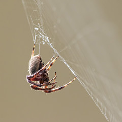 Patience (daveanderson14) Tags: wildlife nature spider spottedorbweaver nikond610 insects web squarecrop macrodreams