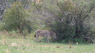 Zebra - Hennops River Hiking Trail