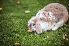 the rabbit and the leaf (I was blind now I see!) Tags: bokeh focus leaf grass animal pet rabbit bunny autumn