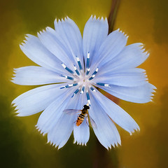 Chicory (David DeCamp) Tags: nature insect bee flower pollination pollen summer marco plant petal blossom yellow texture