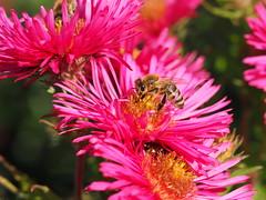 A honiey bee working on a red  autumn aster. (Bienenwabe) Tags: honieybee bee apis apismelllifera apiaceae asteraceae honigbiene herbstaster aster