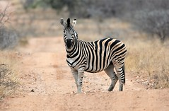 I will avoid the obvious title! (pstone646) Tags: zebra mammal nature wildlife animal africa stripes safari southafrica road bokeh dof fauna ngc