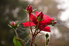 Rose with cobwebs (Liwesta) Tags: plant rose flower red spyder autumn blooming blossom nature